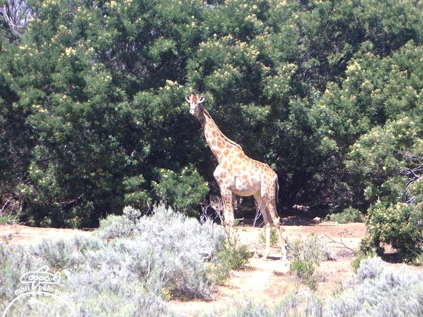 Girafa - Big 5 Safari Foto: Mari