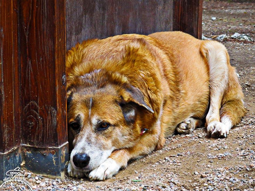 Cachorro descansando em Atenas (Grécia)