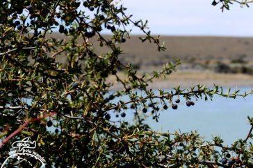 Calafate fruta - foto divulgacao