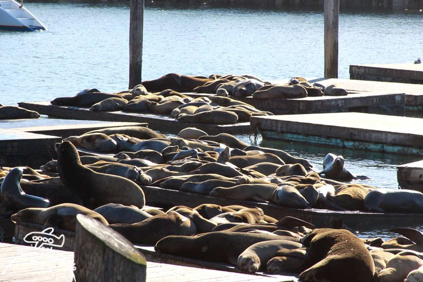 Leoes marinhos - Pier 39 - São Francisco com crianças