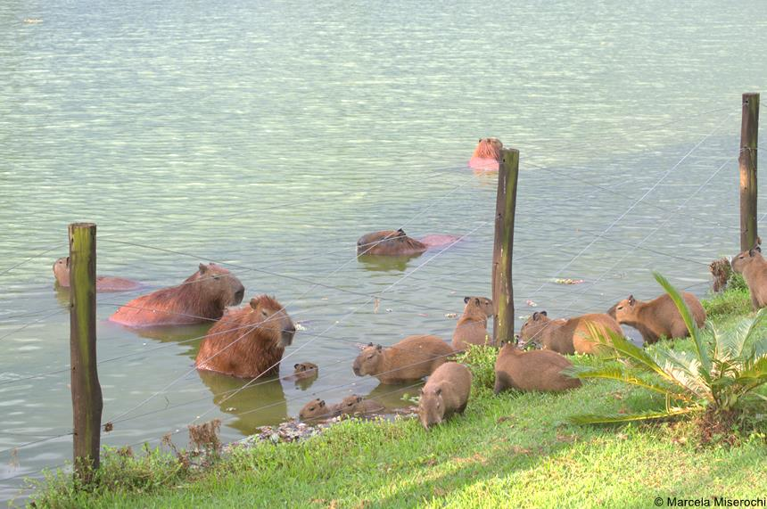 capivaras na lagoa 1
