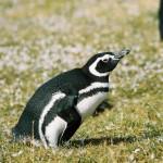 Caminhada com pinguins na Isla Martillo – A Pinguinera
