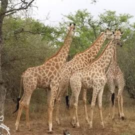 Safari na África do Sul: Moditlo River Lodge